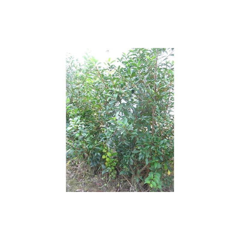 Viburnum propinquum piante da siepe - Piante siepe ...