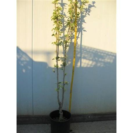 Hibiscus Syriacus Purpureus Variegatus