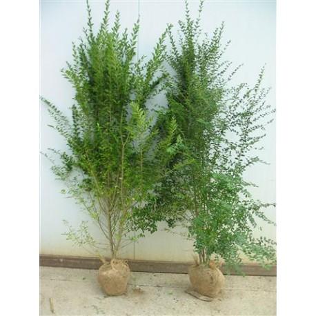 Ligustrum sinensis piante da siepe for Piante ad alberello