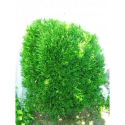 Buxus Linearifolia