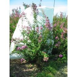 Lagerstroemia Indica rosea