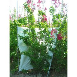 Lagerstroemia Duran red