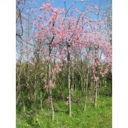 Prunus Subhirtela Pendula