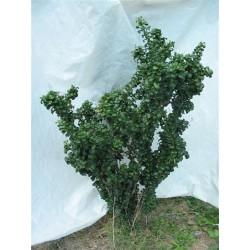 Ligustrum Japonicum Rotondifolia